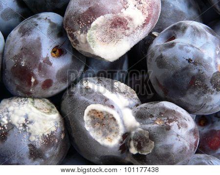 Moldy plums