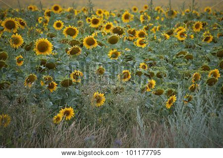 Field Of Sunflowers Blooming