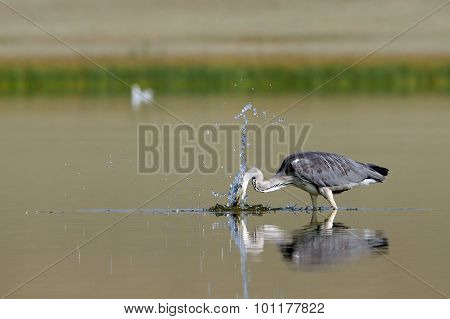 Grey Heron Attack For The Fish