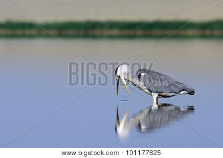Grey Heron At Hunting For A Fish