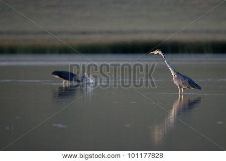 Grey Herons Fishing Before Sunset