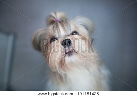 Shih tzu dog asking for something to eat. Focus on nose.