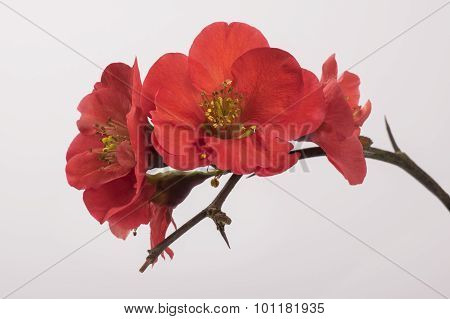Quince flowers on a branch