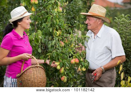 The younger woman helping an older man in the orchard, to pick pears