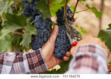 Male Hands With Garden Secateurs And Freshly Blue Grapes At Harvest