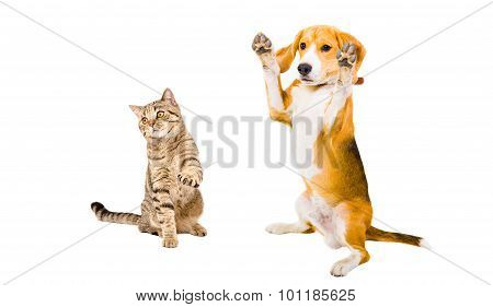 Frisky Beagle dog and cat Scottish Straight