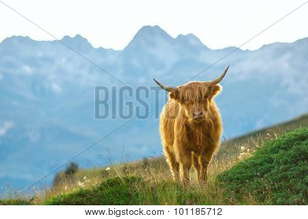 Highlander - Scottish Cow On The Swiss Alps