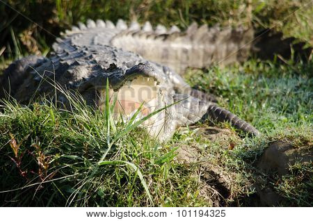 Crocodile Are Semiaquatic And Tend To Congregate In Freshwater Habitats
