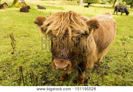 Highland Calf With Other Cattle.