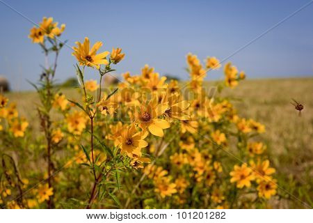 yellow wildlfowers in field with bee