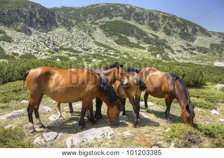 Wild horses in a mountain