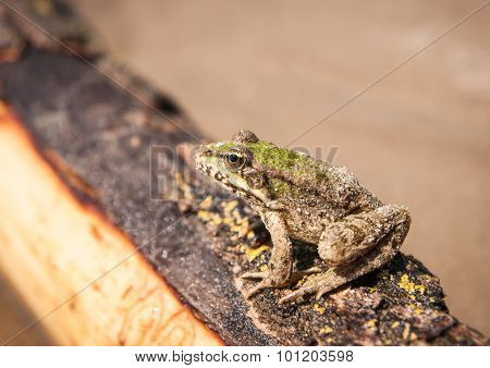 Frog And A Log, Ahtuba, Russia