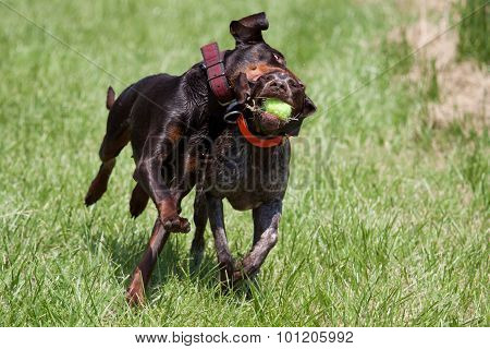 Shorthaired pointer playing with a doberman