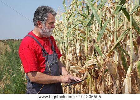 Farmer Examine Damaged Corn Field