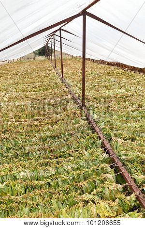 Traditional Tobacco Drying