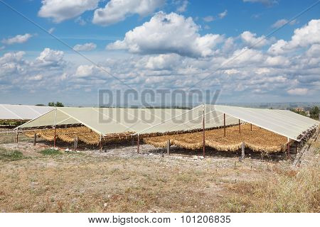Tobacco Drying On Traditional Way In Greece
