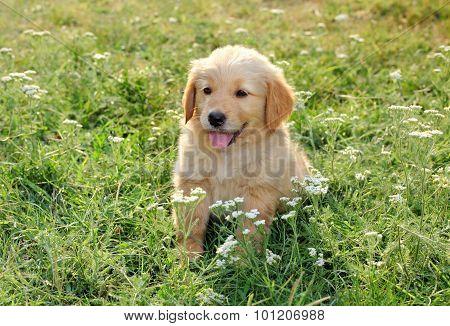 Young Golden Retriever