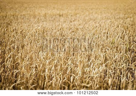 Wheatfield Franconia