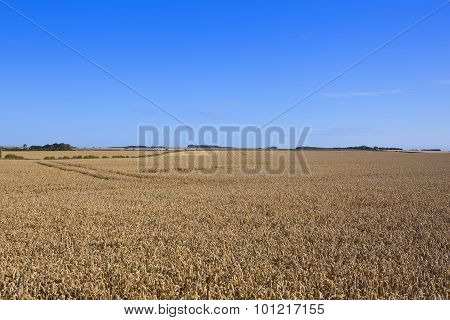 Yorkshire Wolds Wheat Fields