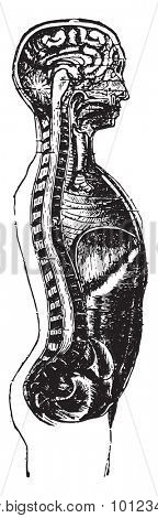 Vertical section of the head and the man's trunk, vintage engraved illustration.