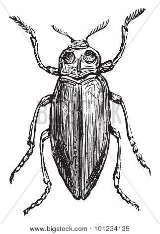 Borer, vintage engraved illustration.