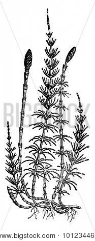 Equisetum sylvaticum (horsetail), vintage engraved illustration.