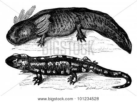 The axolotl from Mexico before and after transformation. Metamorphosis of an aquatic animal breathing through gills, a reptile land, vintage engraved illustration. Earth before man - 1886.
