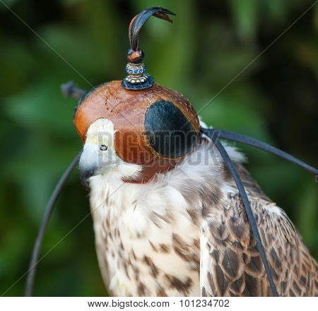 Peregrine Falcon With Mask