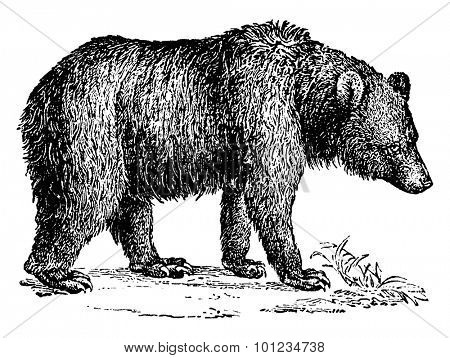 Brown bear, vintage engraved illustration. Natural History of Animals, 1880.