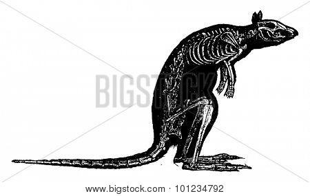 Kangaroo skeleton, vintage engraved illustration. Natural History of Animals, 1880.