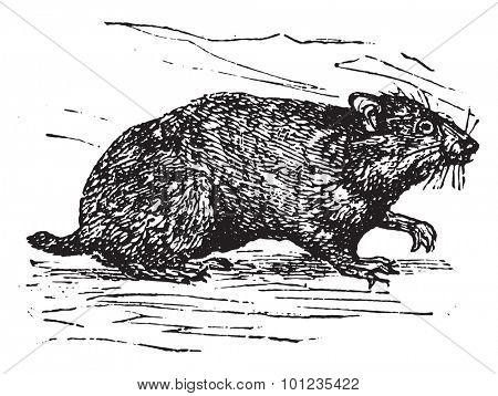 Hamster, vintage engraved illustration.