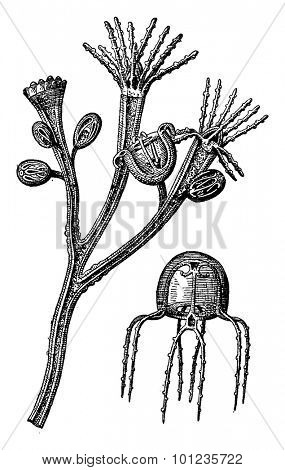 Training jellyfish 1. The foster a jellyfish polyp carries various states of development. 2. Medusa detached, vintage engraved illustration. Earth before man 1886.