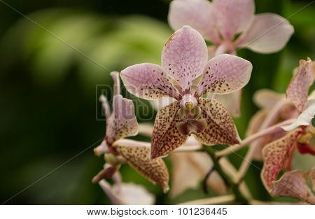 Pink spotted Aranda orchid flower, Aranda omyai