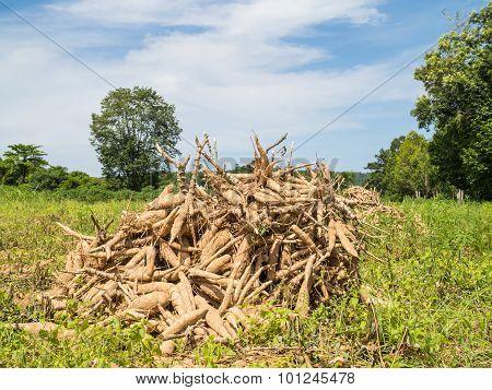 Cassava Pile