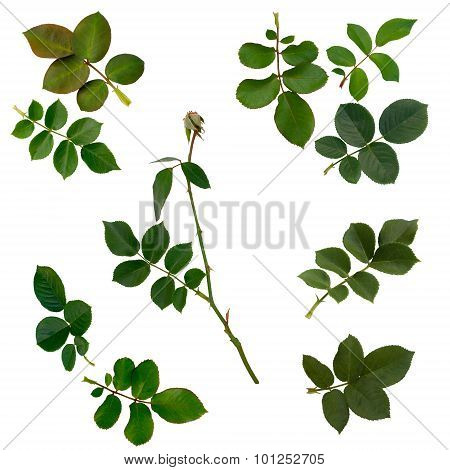 Green Rose Leaves Isolated On White