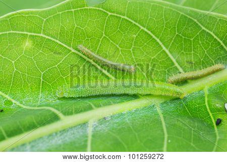 Young Great Orange Tip Caterpillars