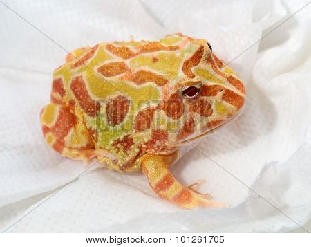 Ornate Horned Frog On Blotting Paper