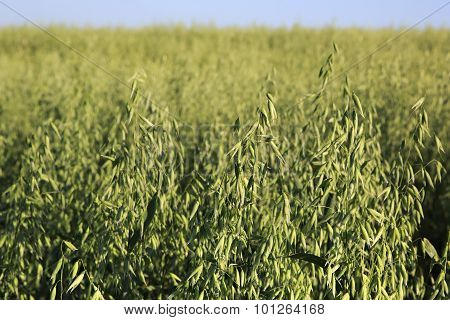 Beautiful summer field of oats. Spikelets close up.