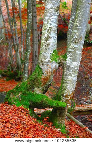 Kissing Trees In Autumn Forest