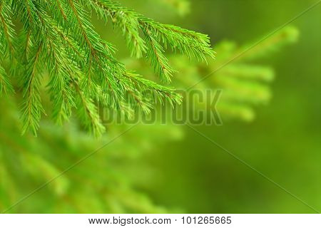 Green Fir Tree Or Pine Branches On Nature