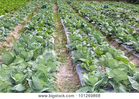 Growing cabbage in rows in the vegetable garden,Agriculture industry.