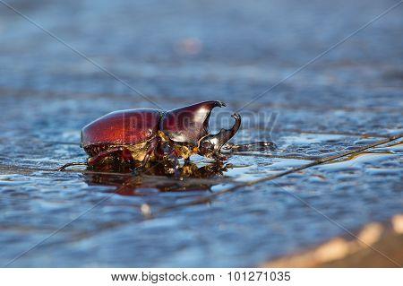 Rhinoceros Beetle, Rhino Beetle, Hercules Beetle, Unicorn Beetle, Horn Beetle  . Indonesia