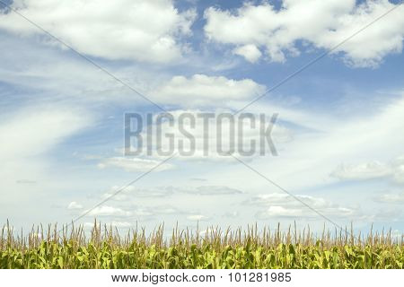 Cloudy Sky Above Corn Tassels