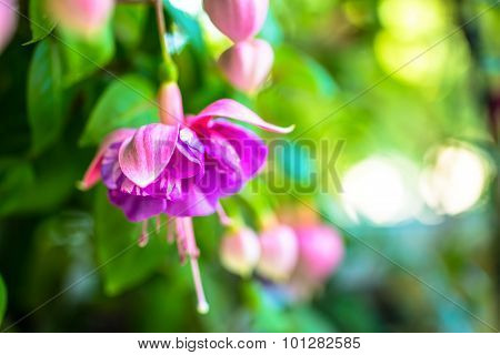 Blooming Red And Lilac Fuchsia Flower On Green Background, `kathy's Sparkler`, Shallow Depth Of Fiel
