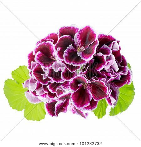 Beautiful Blooming Bouquet Of Velvet Purple Geranium Flower With Green Leaves Is Isolated On White B