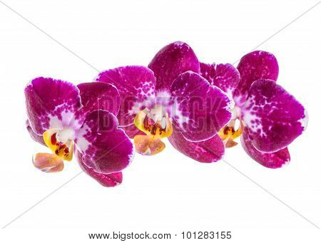 Blooming Branch Of Dark Violet With White Orchid, Phalaenopsis Is Isolated On White Background, Clos