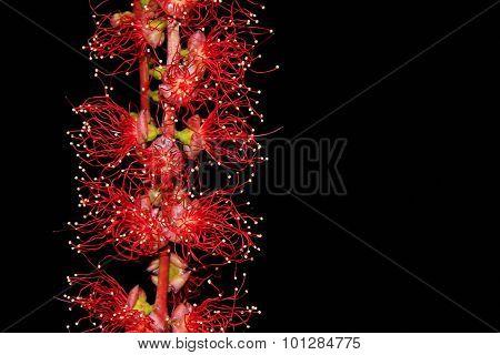 Bloom of Indian Oak or Freshwater Mangrove