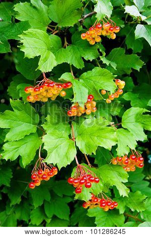 Branches Of Red Berries Of A Guelder Rose Or Viburnum Opulus Shrub.