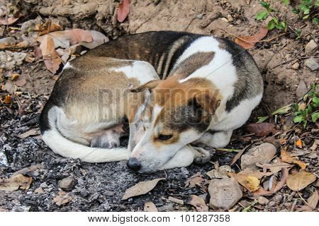 Thai Stray Dog Sleep