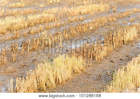 Rice Straw Burn After Harvest And Flood